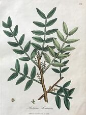 Sowerby Pistacia Lentiscus 1792 Hand Colored Engraving Woodville.