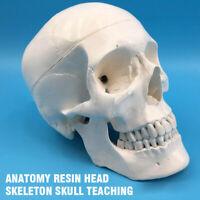 Life Size Human Anatomical Anatomy Resin Head Skeleton Skull Teaching CY
