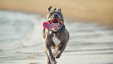 """Poster 24"""" x 36"""" Pit Bull Terrier Run Protruding Tongue"""