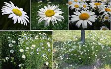 Daisy Flower Wild Perennial Shasta Daisy Large Blooms 100 Seeds 4 U