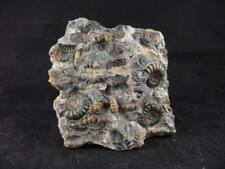 S.V.F - Marston Marble - Promicroceras Ammonites - UK Lias Multi block