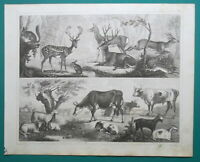 FOREST ANIMALS Stag Roebuck Rabbit Hare Ox Squirrel Goat - 1844 Antique Print