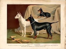 Stampa antica cani ENGLISH TERRIERS 1879 Old print dogs