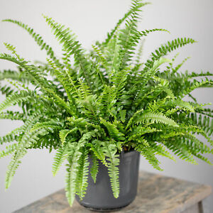 Potted Nephrolepis Boston Fern Indoor Decorative House Gift Plant