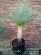 Yucca Linearifolia Nr. 12 ( No Rostrata )