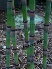 Prêle 6 jeune tiges racines,  Equisetum hyemale plante bassin