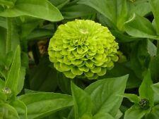 50 Zinnia Seeds Higro Lime Green Flower FLOWER SEEDS
