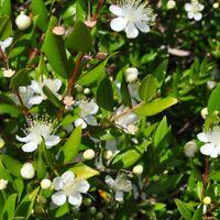 Myrtle  - Myrtus communis - 18 seeds
