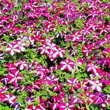 star Petunia flower seed 100 seeds Morning glory Yugao Ipomoea nil