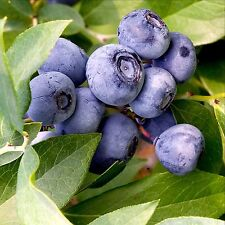 50 EUROPEAN BLUEBERRY SEEDS BILBERRY LOW BUSH RARE SWEET Vaccinium Myrtillus US