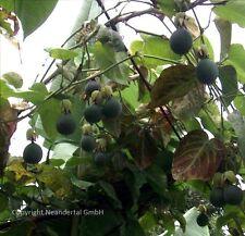 Gesunde Knabberei Purpurgranadila schnellwüchsige immergrüne Kletterpflanze Duft