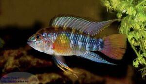 1 Pair Apistogramma sp Rio Nanay (cinilabra) WC Live Tropical Fish Dwarf Cichlid