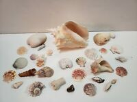 Vintage Sea Shells Lot of 30 ie: Large Conch Shell & Various Species 3lb Lot