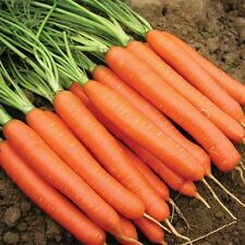 Carrot  'Sweet Candle' - 400 seeds – Vegetables