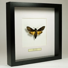 Real taxidermy butterfly mounted in black wooden frame - Acherontia Atropos