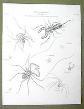ENTOMOLOGY Insects Tarantula Harvestman Sea Spider - 1820 ABRAHAM REES Print