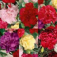 CARNATION DIANTHUS CHABAUD MIX 100 SEEDS CUTTINGS FREE SHIPPING DOUBLE BLOOMS