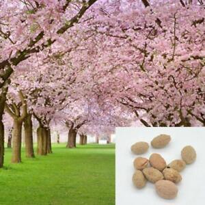Pink Cherry Blossoms Tree Seeds Sakura -10/20/50 Packs-Same Day Shipping