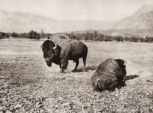 1925 Original Canada Bison Buffalo Rocky Mountains Alberta Landscape Photo Art