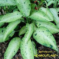 ~Dieffenbachia Camouflage~ Dumb Cane Premium Indoor Foliage Potted Starter Plant