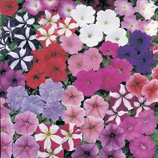 F0373 Petunia Colour Mix x200 seeds, Lots of Colour