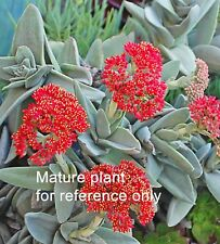 "4 Cuttings 2"" Crassula Falcata Rare SUCCULENT Cactus Cutting Red Flower"