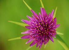 10 Graines de Salsifis des pres Non Traité plante potagere fleur comestible seed