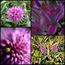 8 Hebe Wiri Joy Hardy Groundcover Plants Hedge Veronica Flower Tuf Garden Shrubs