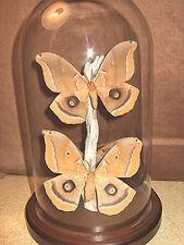 Polyphemus Silk Moth Dome
