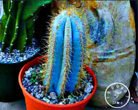 100 PCS Seeds Blue Torch Cactus Bonsai Flores Potted Plants Flowers Home Garden