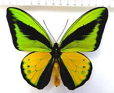 Ornithoptera, Ornithoptera goliath supremus  male from Aseki,PNG HK1/8
