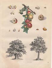 Eichen Stieleiche Korkeiche Gallwespe Galläpfel LITHOGRAPHIE von 1842
