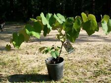 Concord Grape Vine 2 Gal. Plants Vines Vineyard Home Garden Plant Healthy Grapes