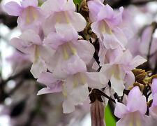 Blauglockenbaum•Paulownia tomentosa•300+ Samen/seed•Duft•bis -15°C•Empress Tree