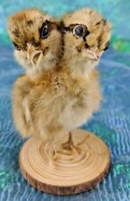 R30H Taxidermy 2 Headed Chicken Display chick bizarre Gaff Curiosities oddities