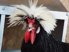 8 White Crested Black Polish Chicken Hatching Eggs
