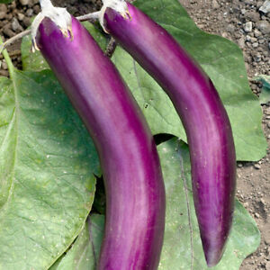 Eggplant Seeds (solanum melongena) Fresh, Reliable Viable Seeds