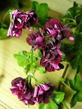 1 Ivy Geranium cuttings~Royal Knight ~Geranium Contessa Purple~aka Black Magic