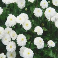 Yarrow- The Pearl- Achillea- 200 seeds
