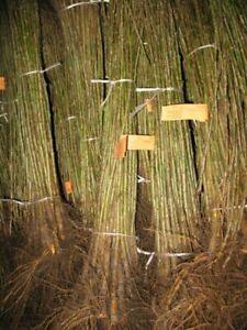 Pflaumenbaum Unterlage Myrobylan zum veredelen 10 Stück