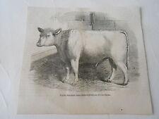 Jeune Taureau sans corne offert au Roi de Siam Antique Old Print 1861