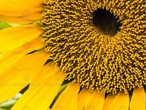 NATURE PHOTO YELLOW SUN FLOWER PLANT POSTER ART PRINT PICTURE BB205B
