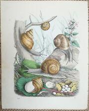 Buch der Welt Handcolored Print Burgundy Snail - 1862