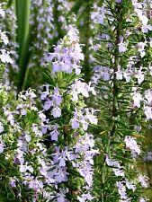 "ROSMARINUS OFFICINALIS ""ERECTUS"" alveolo Rosmarino eretto pianta Rosemary plant"