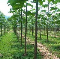 10.000 seeds PAULOWNIA ELONGATA - Royal Empress Tree - Fast Growing Tree!