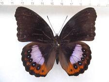 Hypolimnas Pandarus machos, Ceram-isl., moluccas, indonesia n325