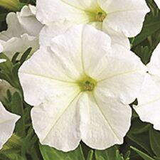 Petunia - Picobella White - 20 Seeds