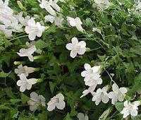 ASARINA CLIMBING SNAPDRAGON WHITE Asarina Scandens - 100 Bulk Seeds