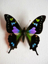 ONE REAL BUTTERFLY PINK BLUE PURPLE INDONESIAN WEISKEI UNMOUNTED WINGS CLOSED