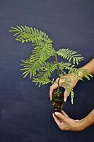 ACACIA DEALBATA alveolo Mimosa Silver Wattle bellissima e profumata
